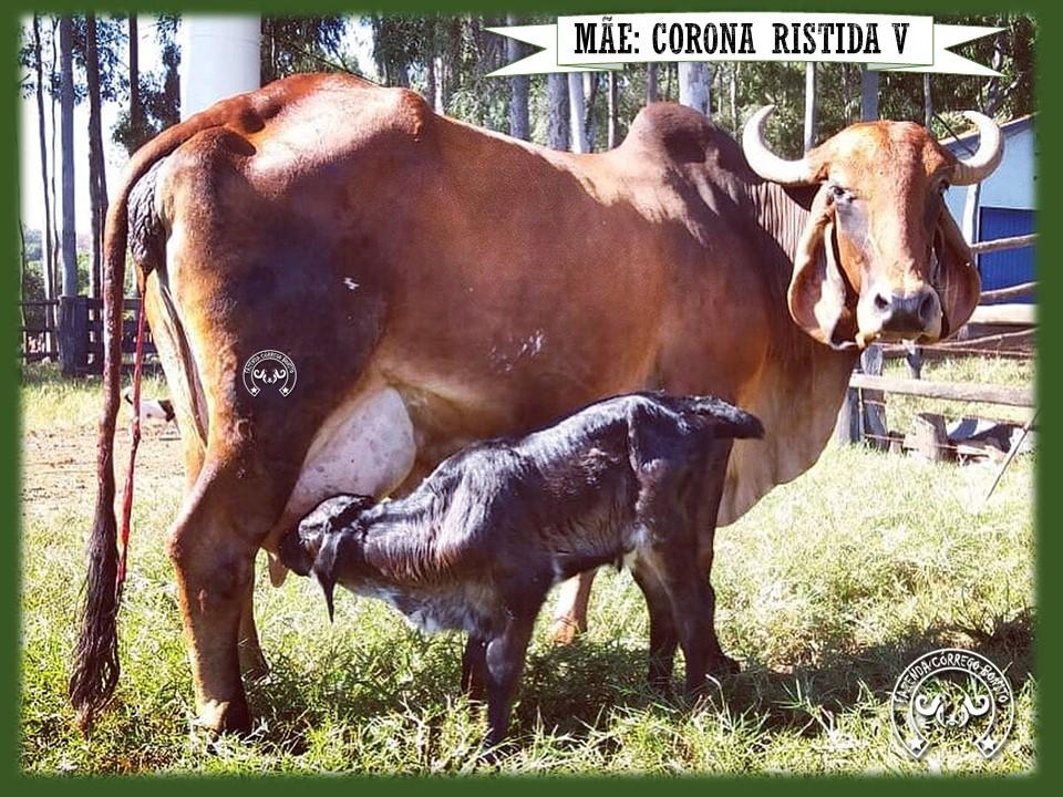 Corona Ristida XIII - AFYC 690
